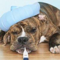 Отличайте собачью чуму от простой лихорадки