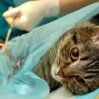 Преимущества ипоследствия стерилизации домашней кошки